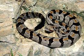 Timber rattlesnake.  My rattler at Tesnatee Gap resembled this one