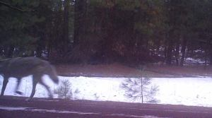 The second wolf sighted, near Keno, Oregon