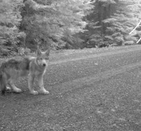 Remote capture photo of one of Journey's pups