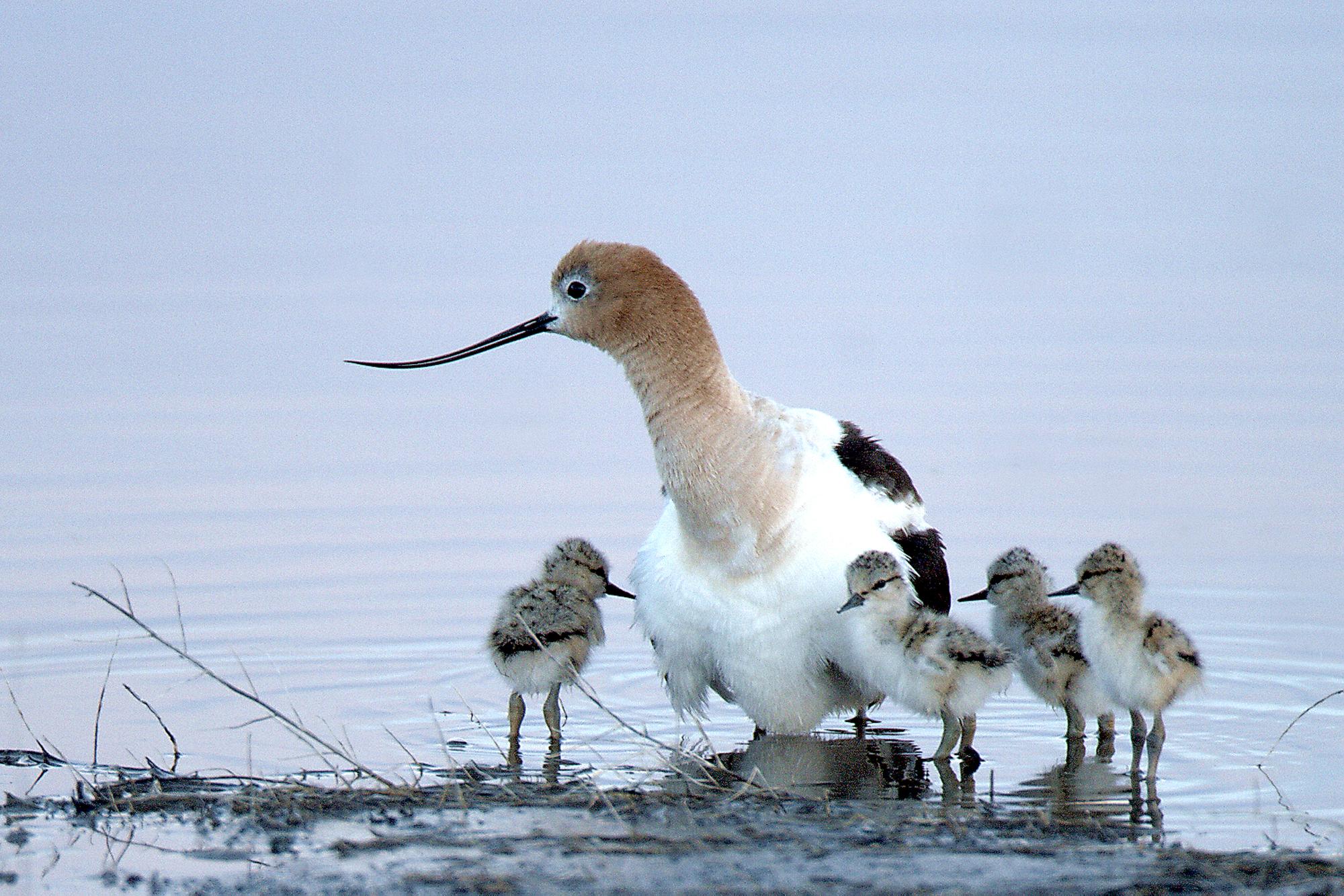 Recurvirostra_americana_-_Malheur_National_Wildlife_Refuge,_Oregon,_USA_-adult_and_chicks-8